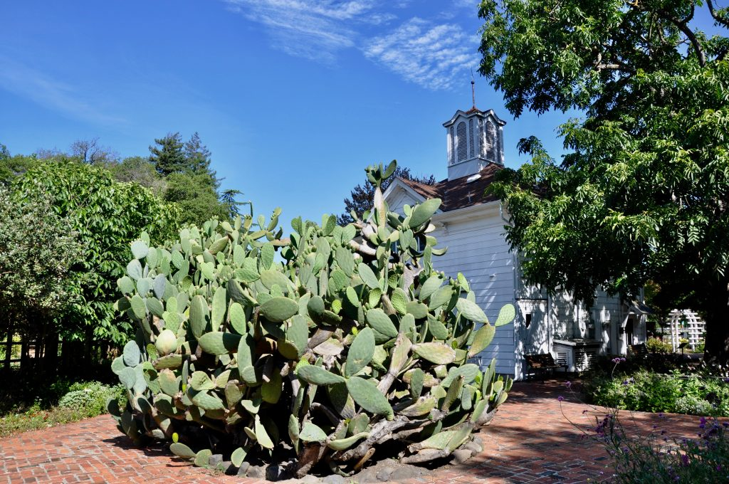 Spineless cactus at Luther Burbank Home & Gardens