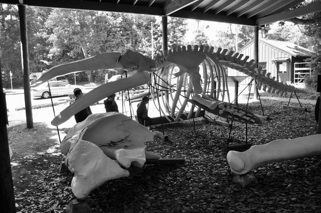 Whale skeleton at MacKerricher State Park